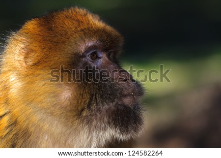 Wild monkey looking for a food - stock photo