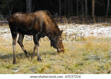 Wild Moose in the Canadian Rocky Mountains Kananaskis Country Alberta Canada - stock photo