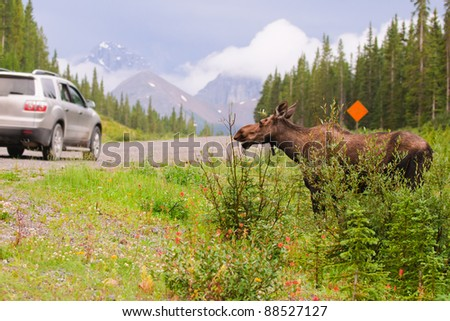 Wild Moose in the mountains, Kananaskis country Alberta Canada