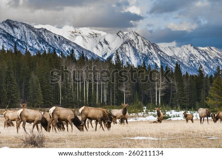 Wild mountain Elk, Banff National Park Alberta Canada - stock photo