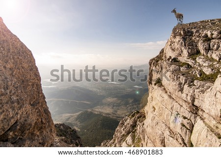 wild mountain goat and cliff