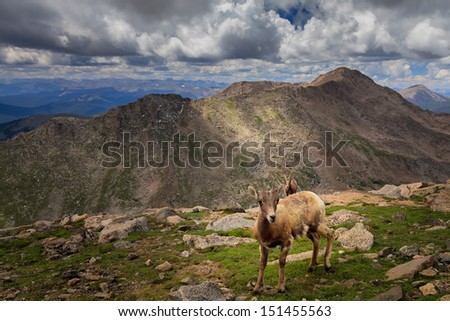 Wild mountain Goat, high elevation mountain and clouds in the background