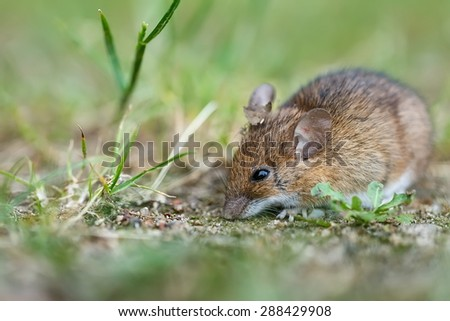wild mouse looking for food - stock photo
