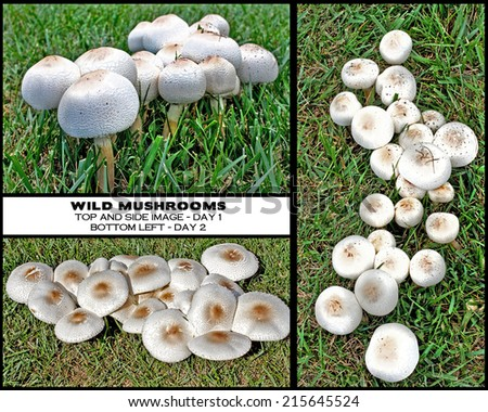 Wild mushrooms growing in yard, close-up shots.  Some have opened up and others look like over-sized marshmallows - Chart showing mushrooms before and after they opened up. - stock photo