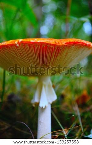 Wild mushrooms in English woods. Amanita muscaria (Fly Agaric) - stock photo