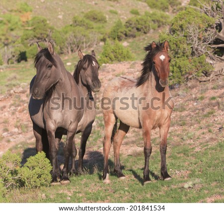 Wild Mustangs,  Pryor Mountain Wild Horse Range, Lovell, Wyoming. - stock photo