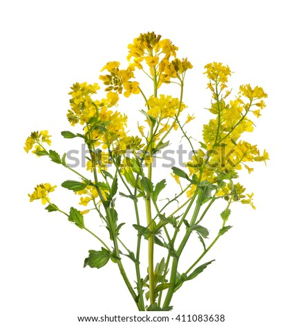 Image Gallery mustard plant