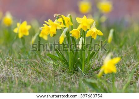 wild narcissus flowers - stock photo