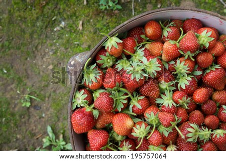 Wild Natural Red Strawberries, Strawberry in Rustic Iron Pot on  - stock photo