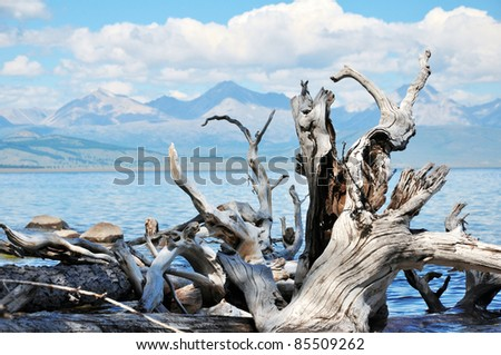 Wild nature. Dead trees on the shore of Lake Hovsgol. - stock photo