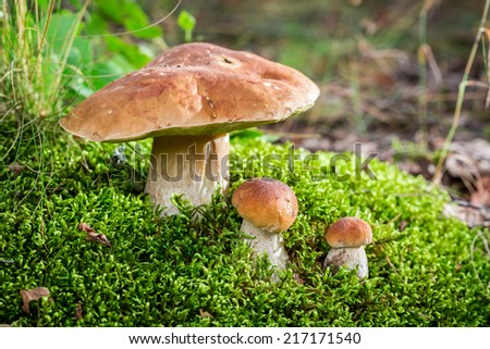 Wild noble mushrooms in forest - stock photo