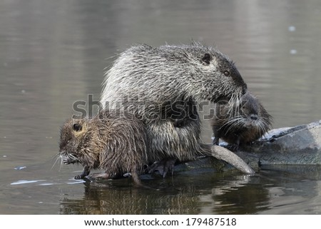Wild nutria (male) with the youngs. End of winter. - stock photo
