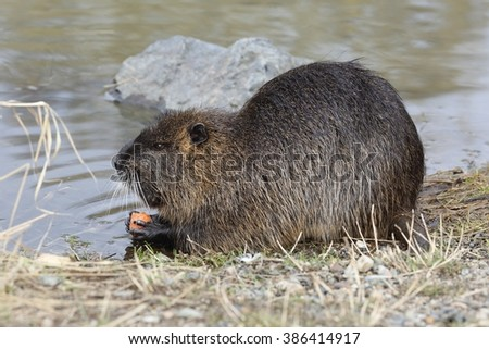 Wild nutria (Myocastor coypus) eat on the bank of the pond. The end of winter.