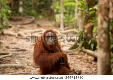 Wild orangutan in Borneo forest. - stock photo