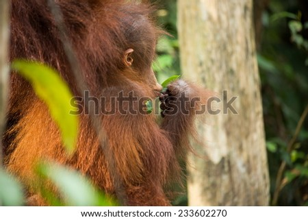 Wild Orangutan in the forest of Borneo Indonesia. - stock photo