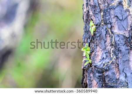 Wild orchid growing on burned pine tree in forest. - stock photo