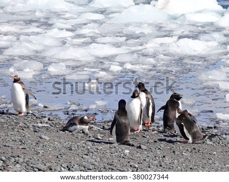 Wild penguin in antarctica