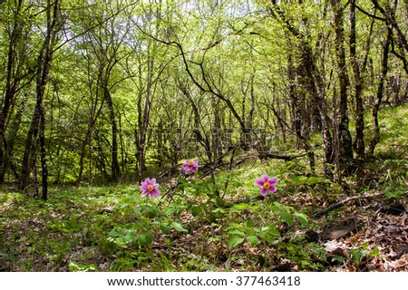 Wild peonies are blooming in the woods in the spring - stock photo