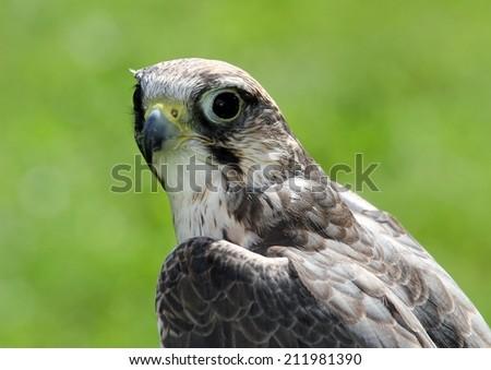 wild peregrine falcon with very attentive gaze - stock photo