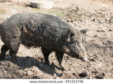 wild pig at the zoo