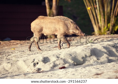 Wild pig on a sandy beach on Pangkor Island