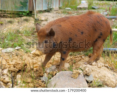 Wild pig on farm yard - stock photo