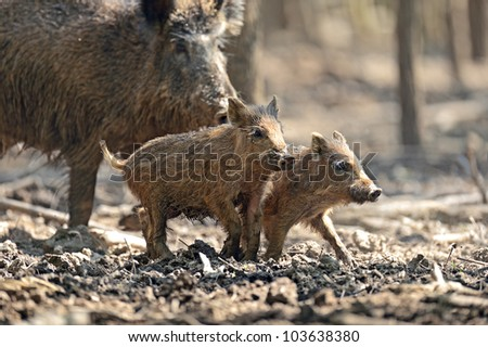 Wild pig with babies - stock photo