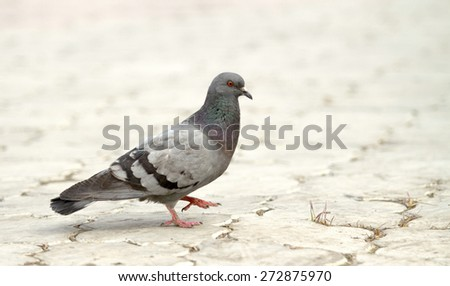 wild pigeon walking on the earth - stock photo