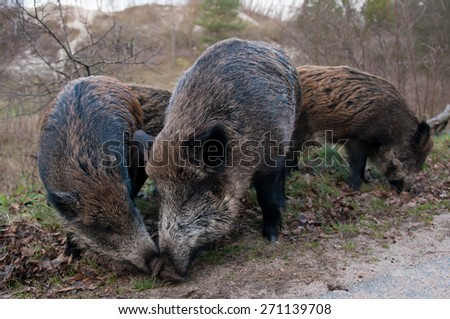 Wild pigs in the national park the Curonian Spit. Russian. Kaliningrad Oblast. - stock photo