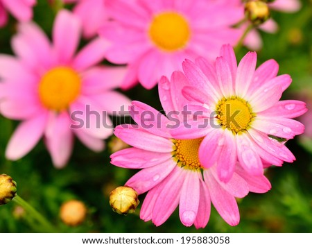 Wild Pink Color Chrysanthemum in Full Bloom, after the rain, water drops on petals (Pink Color Mums)