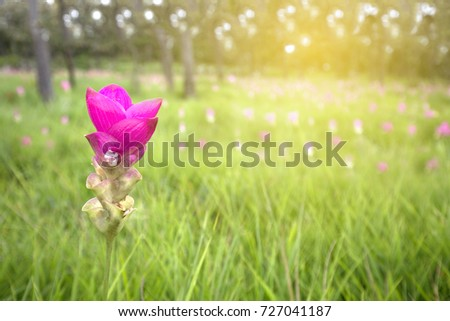 Wild pink Siamese tulip blooming in Chaiyaphum.  Famous tourist place of national park in North Eastern, Thailand