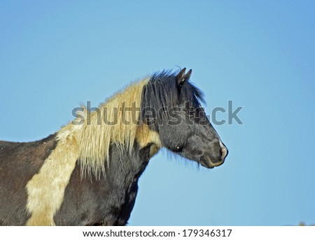 Wild Pinto Horse Side View