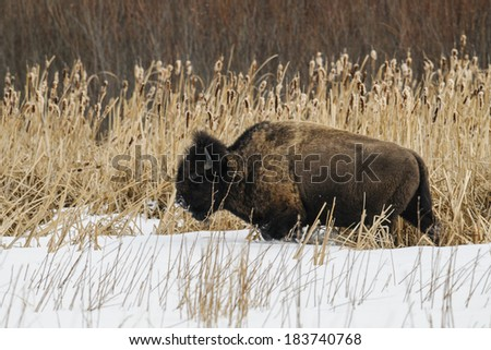 Wild Plains Bison feeding on a frozen lakeshore, Elk Island National Park Alberta Canada - stock photo