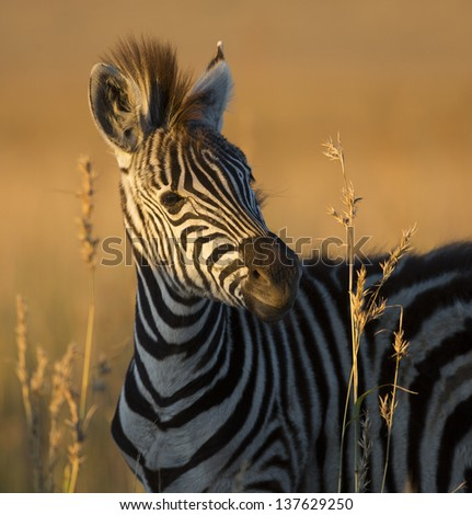 Wild plains zebra foal, South Africa - stock photo