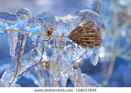 Wild plant covered in a thick layer of ice - stock photo
