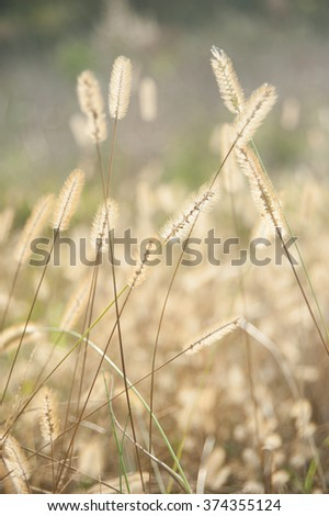 wild plant seeds, weed, grass, field, rural, vertical, during sunset - stock photo