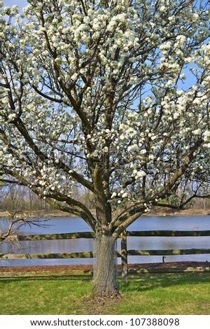 Wild Plum Tree - Flowering Wild Plum (American Plum) Tree Vertical Photo. - stock photo