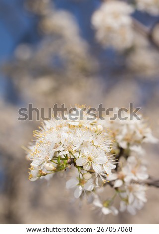 Wild plums blooming with clusters of white blooms, filling air with pollen - stock photo