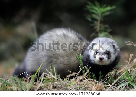 Wild polecat in forest - stock photo