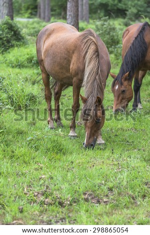 Wild ponies in New Forest National Park grazing