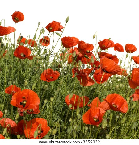 Wild poppies against a white background - stock photo