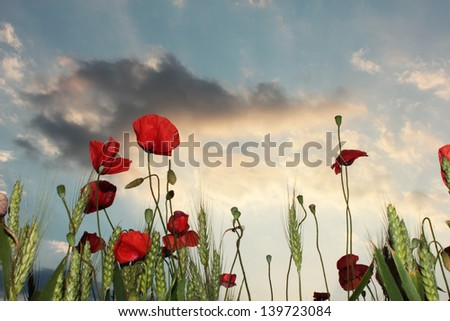 wild poppies and wheat behind a dramatic sky at evening - stock photo