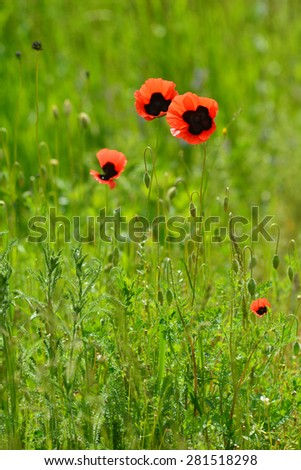 Wild poppies blooming in the field - stock photo