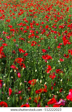 wild poppy field - Armistice day background