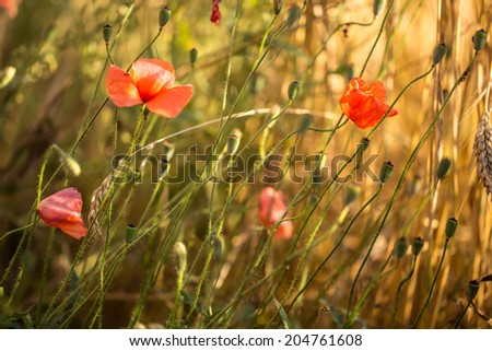 wild poppy flower - stock photo