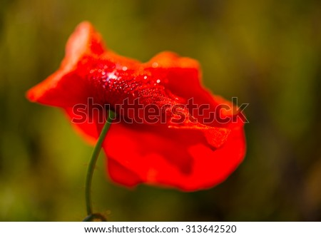 Wild poppy flower in a field on a green blurred background.