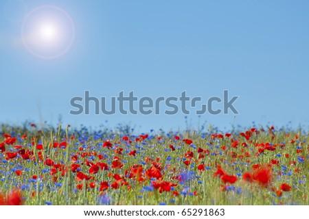 Wild Poppy Flowers and Corn Flowers on a corn field - stock photo