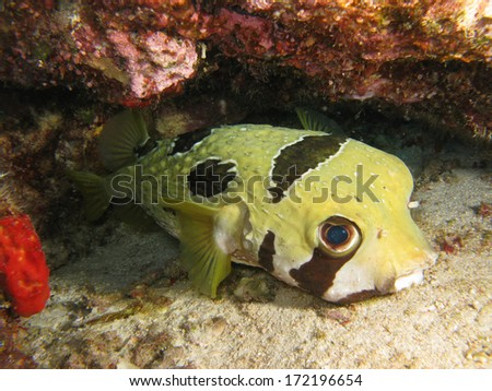 Wild Porcupine Puffer Fish (Diodon holocanthus) are widespread and can be found in the Atlantic Ocean, Pacific Ocean and Indian Ocean. It is an egg-laying species and breed in pelagic waters. - stock photo
