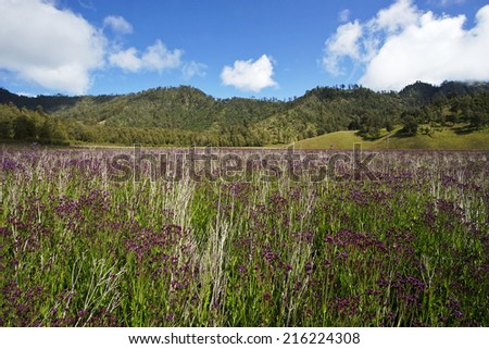 wild purple flower as foreground at the Semeru Mountain, Tengger Semeru National Park, East Java, Indonesia  - stock photo