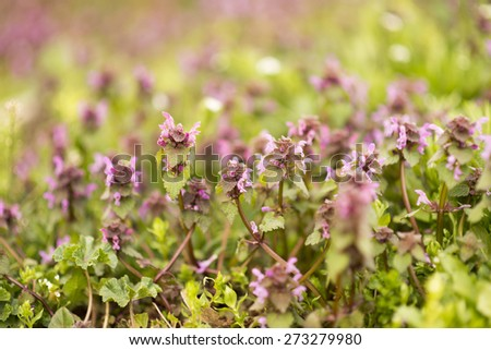 Wild Purple Flowers Blooming. Closeup Image. Soft Focus. Spring background. - stock photo